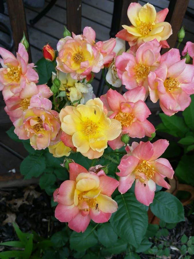 Joseph żakieta róże zdjęcie stock