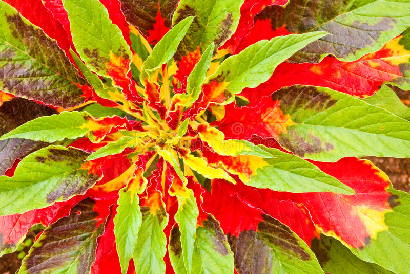 Joseph's Coat Plant stock photography