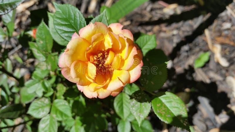 Josephs Coat Rose royalty free stock photos