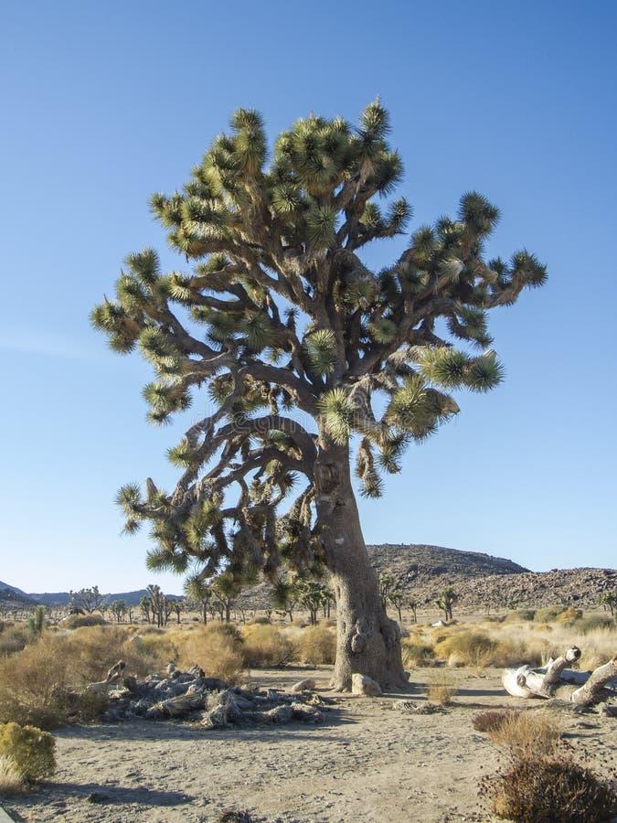 joshua ampuły drzewo fotografia stock