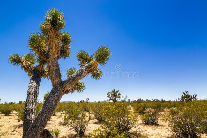 Joshua-Bäume nahe Las Vegas, Nevada stockbilder