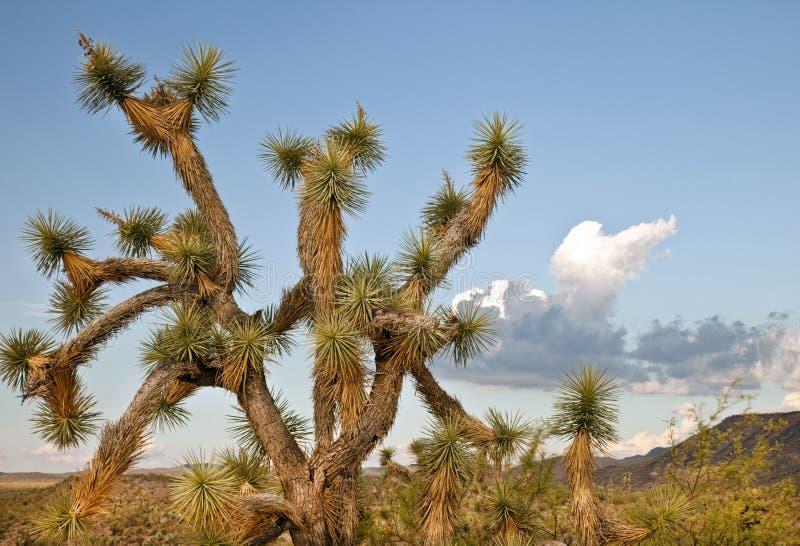 Joshua-Baum in der Arizona-Wüste lizenzfreie stockbilder