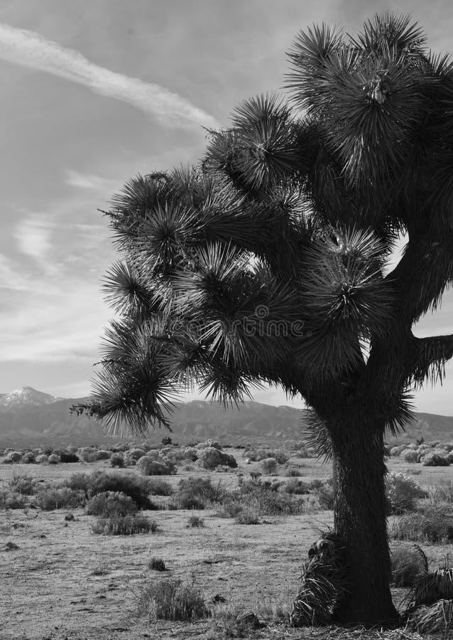 Joshua-Baum in der Wüste stockfotografie