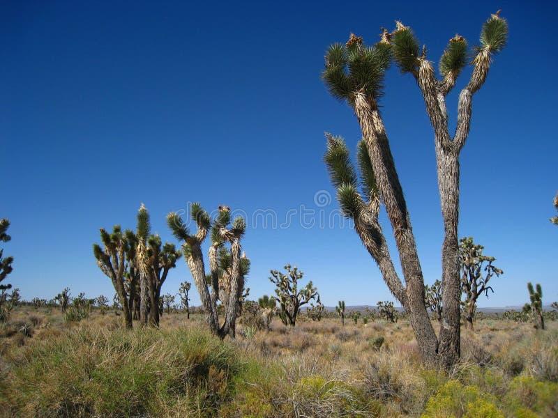 joshua drzewa obrazy stock