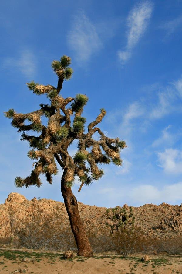 Joshua drzewa cloudscape w Południowego Kalifornia wysokości pustyni blisko Palmdale i Lancaster obraz royalty free
