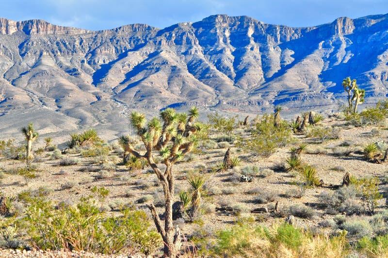 Joshua drzewa i Uroczyste obmycie falezy, Meadview, Arizona obraz royalty free
