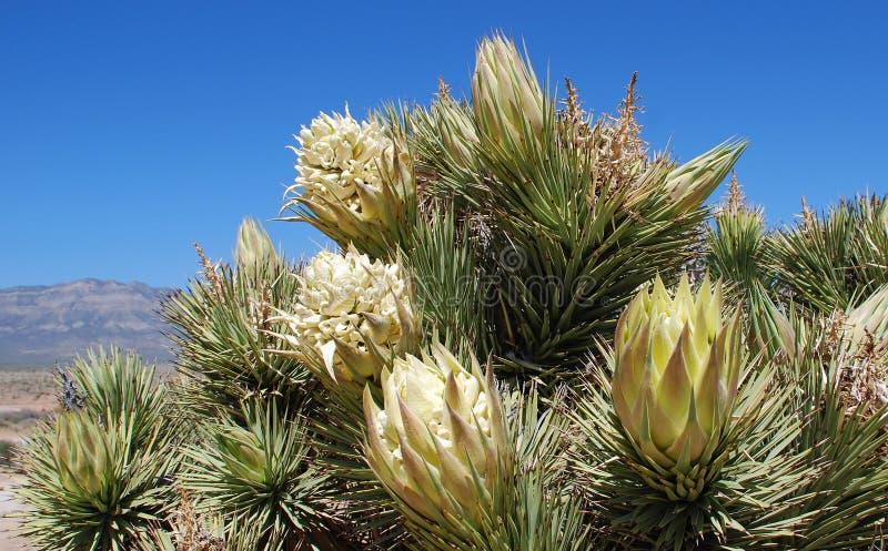 Joshua drzewa kwiat (jukki brevifolia) zdjęcie stock