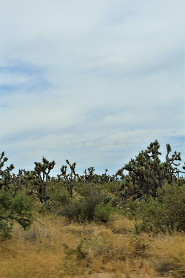Joshua drzewa Lasowy Parkway, Sceniczna trasa 93, Arizona, Stany Zjednoczone zdjęcie royalty free