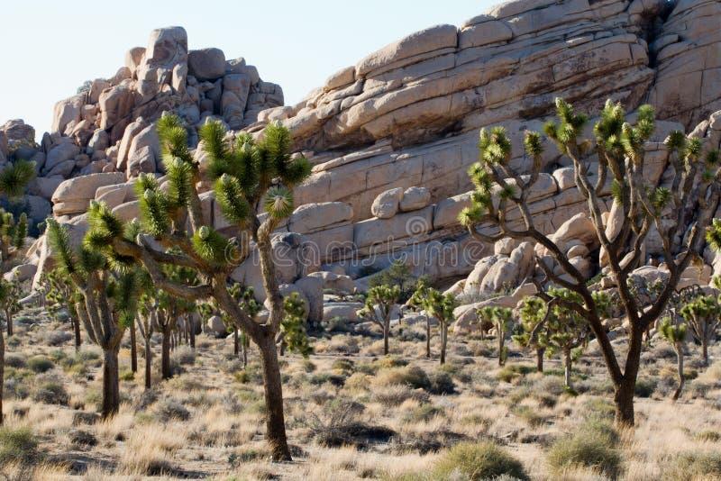 Joshua drzewa park narodowy zdjęcia royalty free