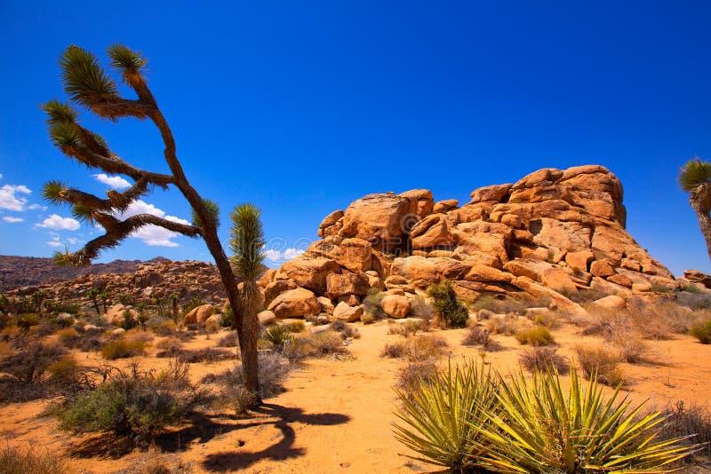 Joshua drzewa parka narodowego jukki Mohave Dolinna pustynia Kalifornia obraz stock