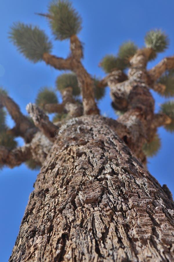Joshua drzewa portret, Kalifornia, usa zdjęcia royalty free