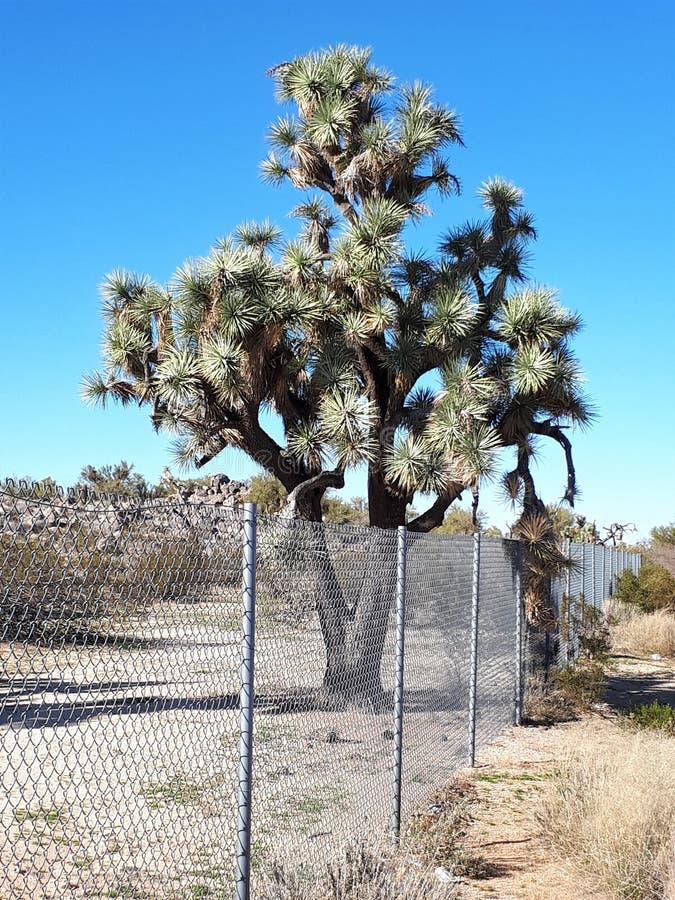Joshua drzewa w Arizona Joshua drzewa lesie fotografia royalty free