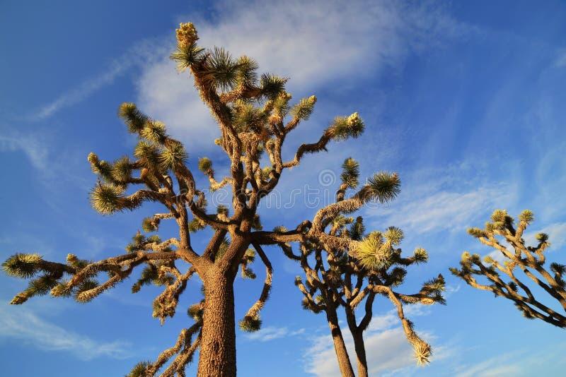 Joshua drzewa w Joshua drzewa parku narodowym, usa fotografia royalty free