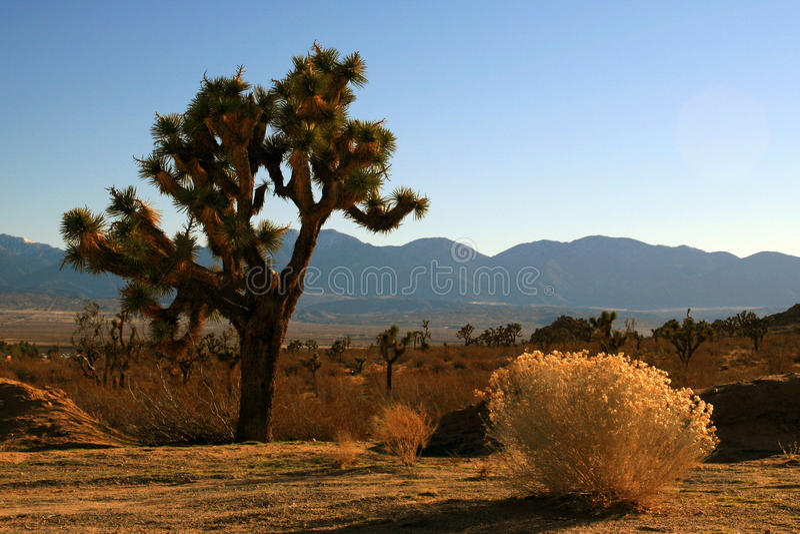 Joshua Drzewny widok od Jeziornego Los Angeles w wysokiej pustyni południowy Kalifornia zdjęcia royalty free