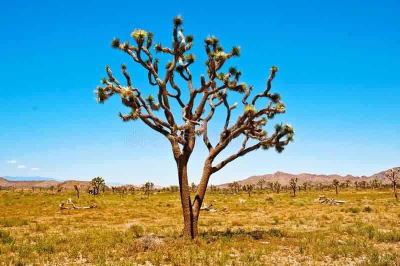 joshua drzewo obraz stock