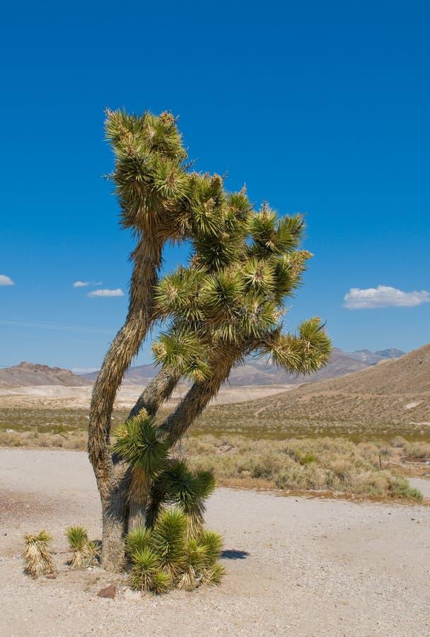 Joshua drzewo, Kalifornia zdjęcia stock