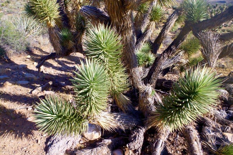 Joshua kaktusy, rewolucjonistki konserwaci Rockowy Krajowy teren, Nevada zdjęcie royalty free