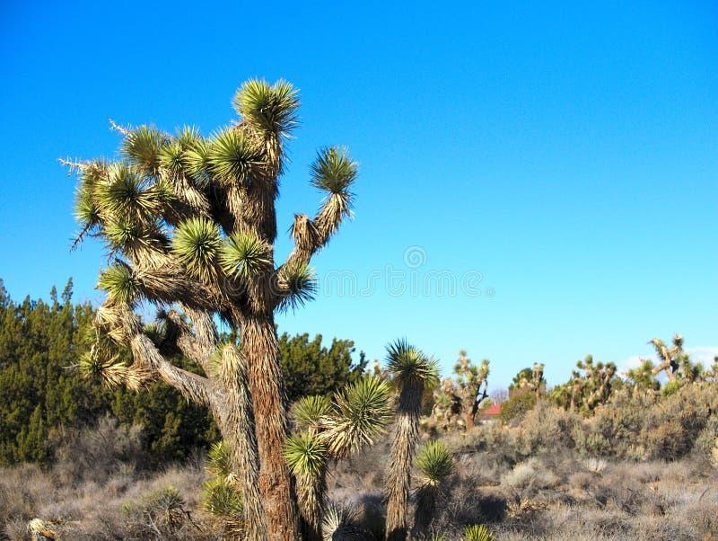 Joshua träd i ökenlandskap med blåa himlar arkivbilder