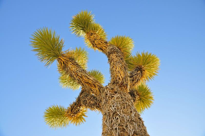 Joshua träd i klar blå himmel arkivbild