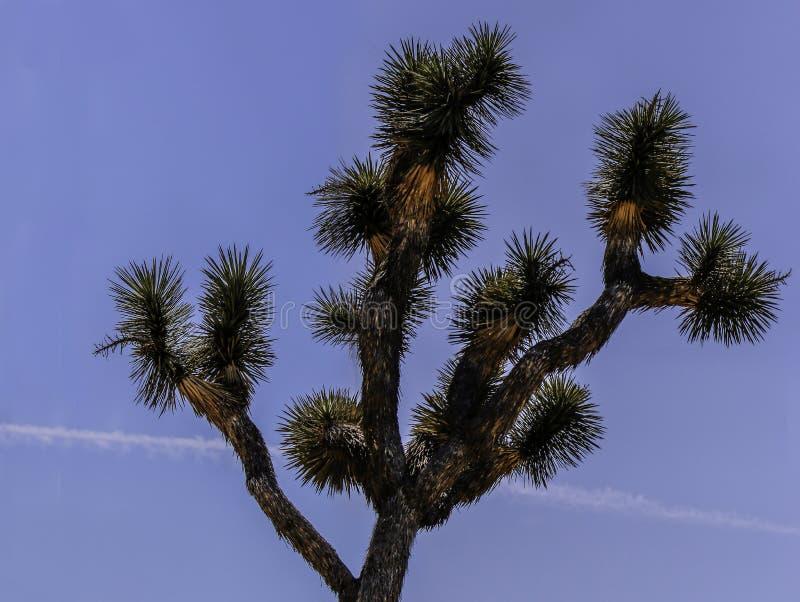 Joshua träd mot blå bakgrund arkivfoto