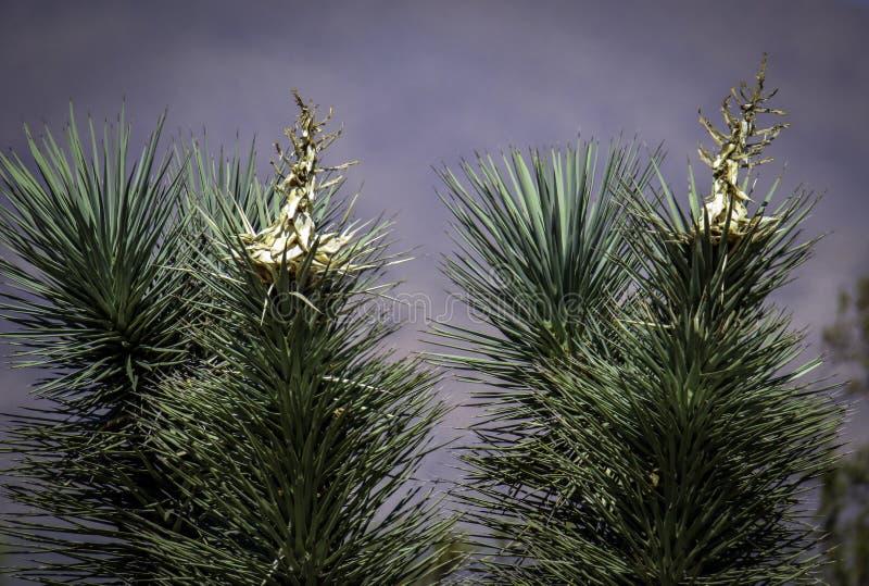Joshua träd mot grå bakgrund arkivfoto