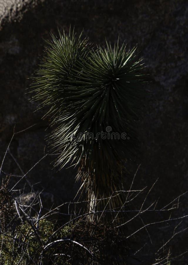 Joshua träd mot mörk bakgrund royaltyfri fotografi
