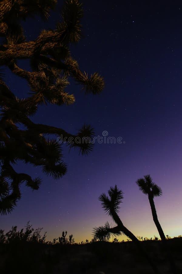 Joshua träd mot mörk bakgrund arkivbild