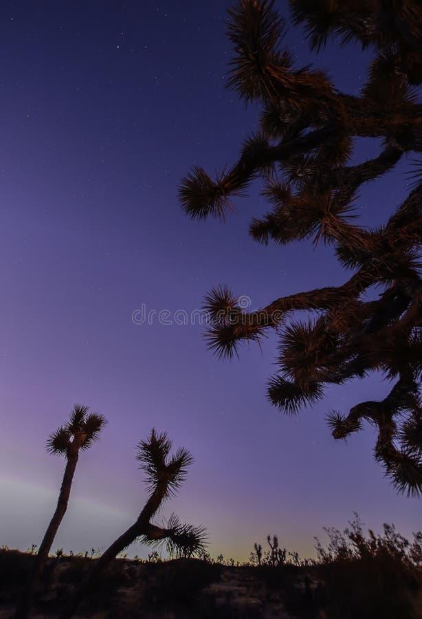 Joshua träd mot mörkt - blå bakgrund royaltyfri bild