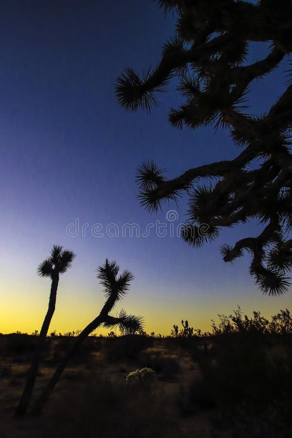 Joshua träd mot solnedgångbakgrund royaltyfri bild
