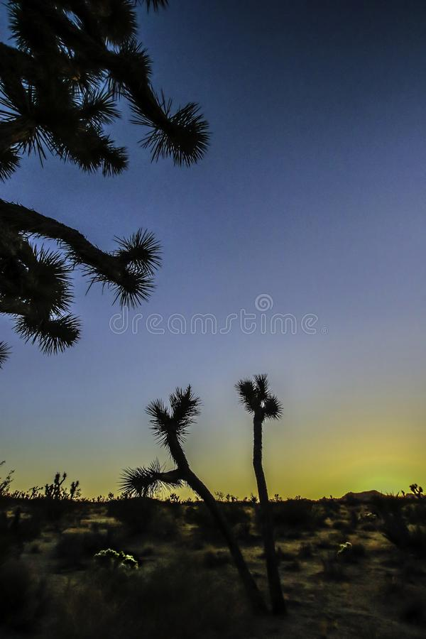 Joshua träd mot solnedgångbakgrund royaltyfri fotografi