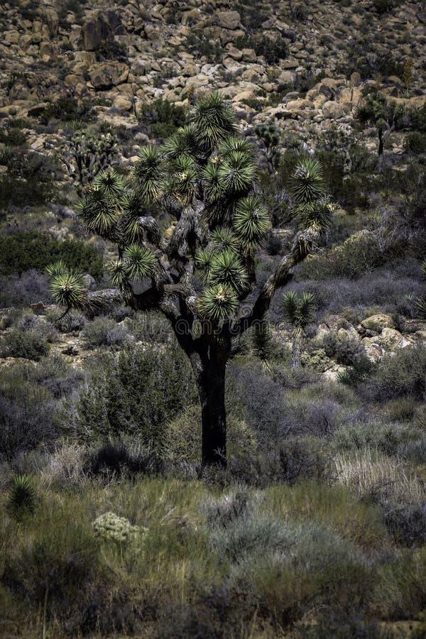 Joshua träd mot stenig bakgrund fotografering för bildbyråer