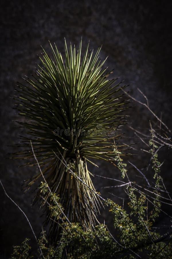 Joshua träd mot svart bakgrund royaltyfria foton