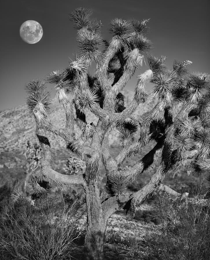 Joshua träd och måne royaltyfria foton