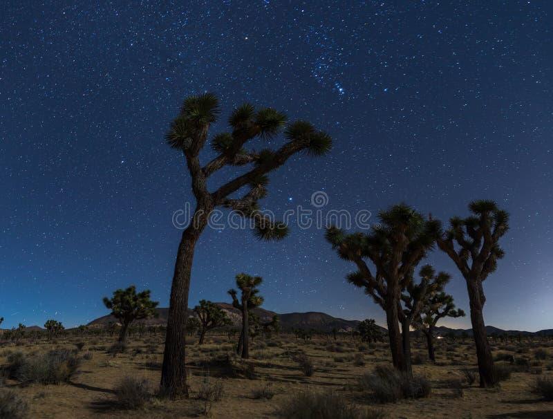 Joshua träd på natten royaltyfria bilder