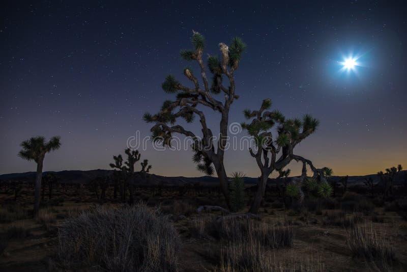 Joshua träd på natten fotografering för bildbyråer