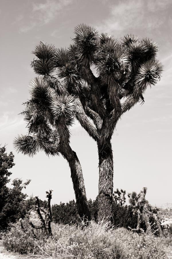 joshua tree fotografering för bildbyråer