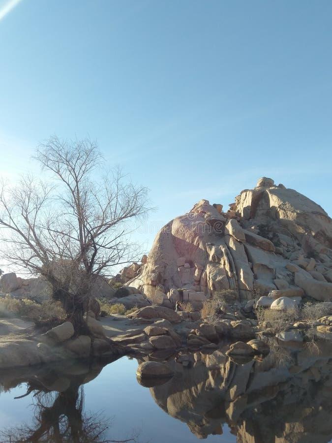 1 joshua tree fotografering för bildbyråer