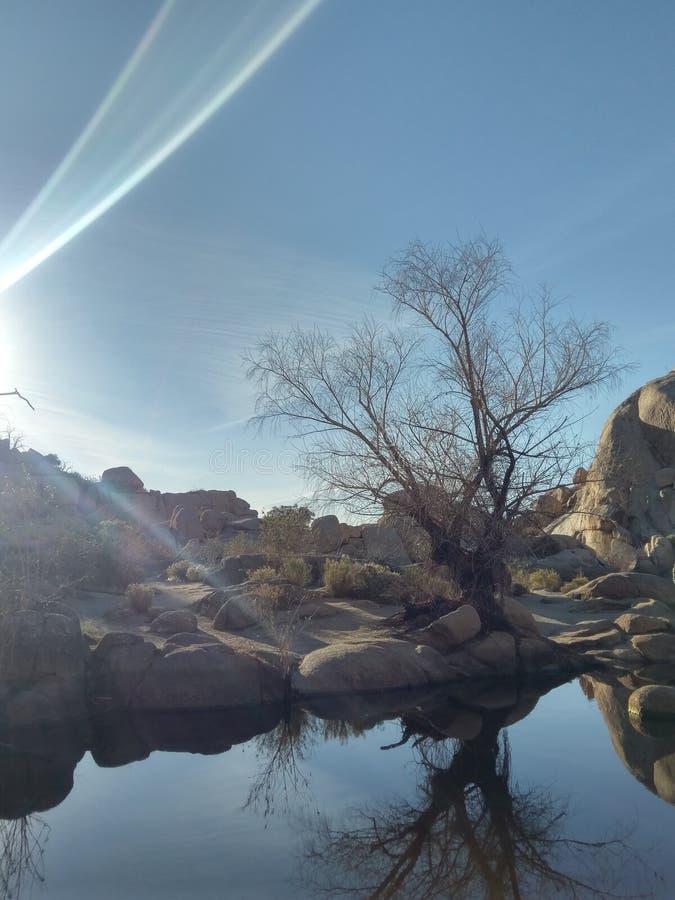 1 joshua tree arkivfoton
