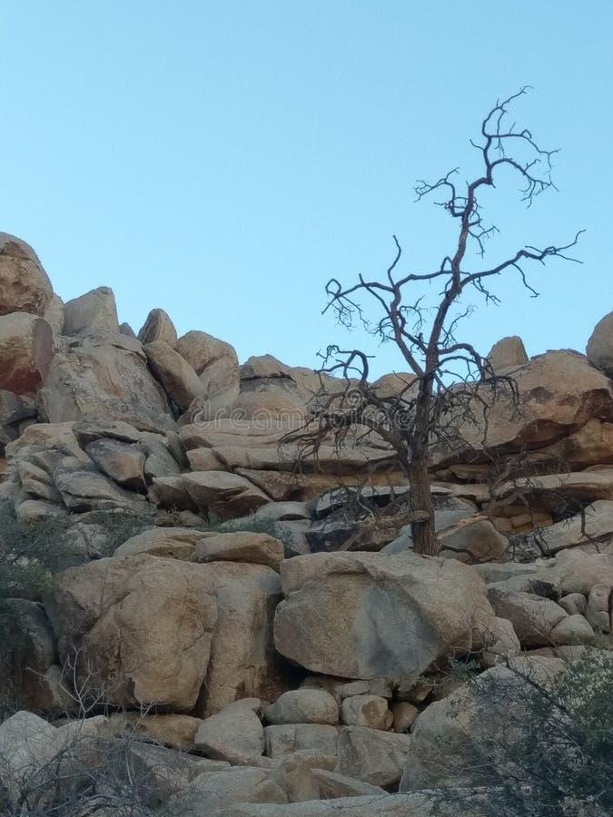 1 joshua tree royaltyfria foton