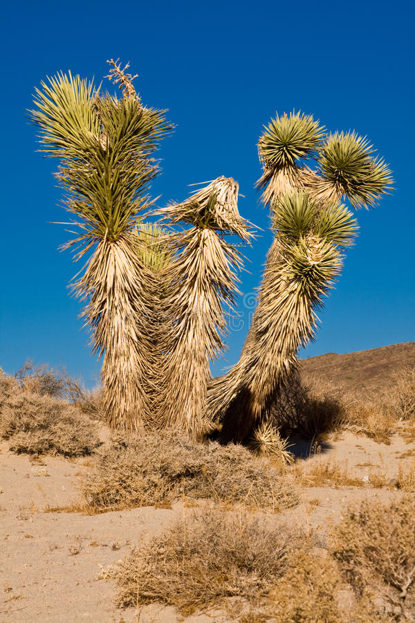 Joshua tree. In the Mojave desert, California stock images