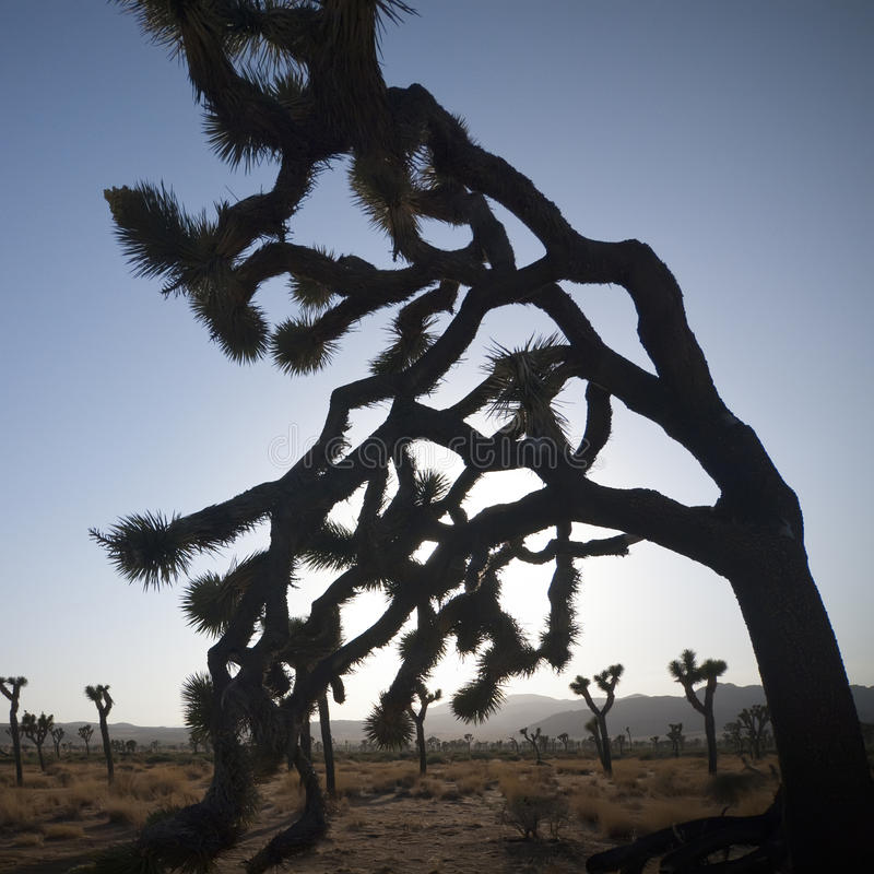 Joshua Tree. At sunset in  National Park, California stock images