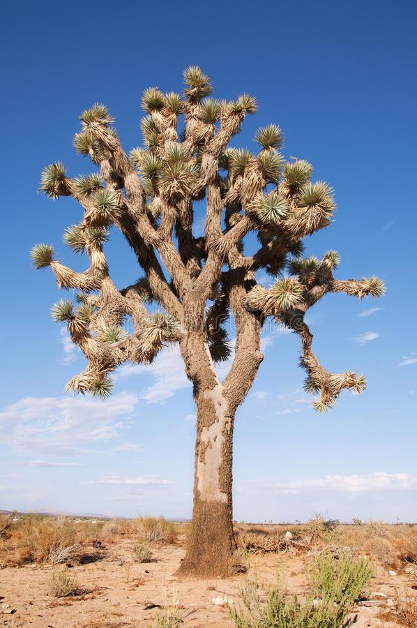 Download Joshua Tree stock image. Image of tree, plateau, national - 16719867