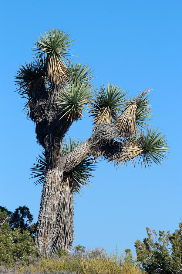 Joshua Tree. National Park is located in southeastern California. It is named for the distinct s (Yucca brevifolia) native to the park royalty free stock image