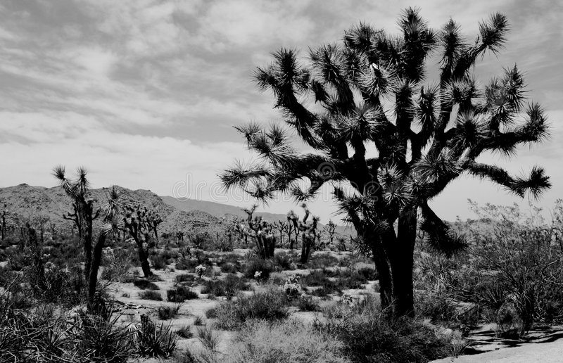 Joshua Tree. In the Mojave Desert royalty free stock image