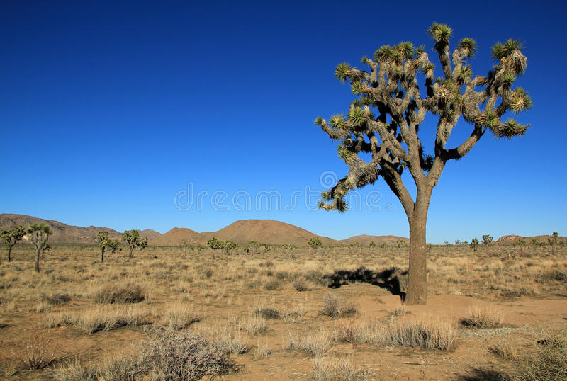 Joshua Tree royaltyfria foton