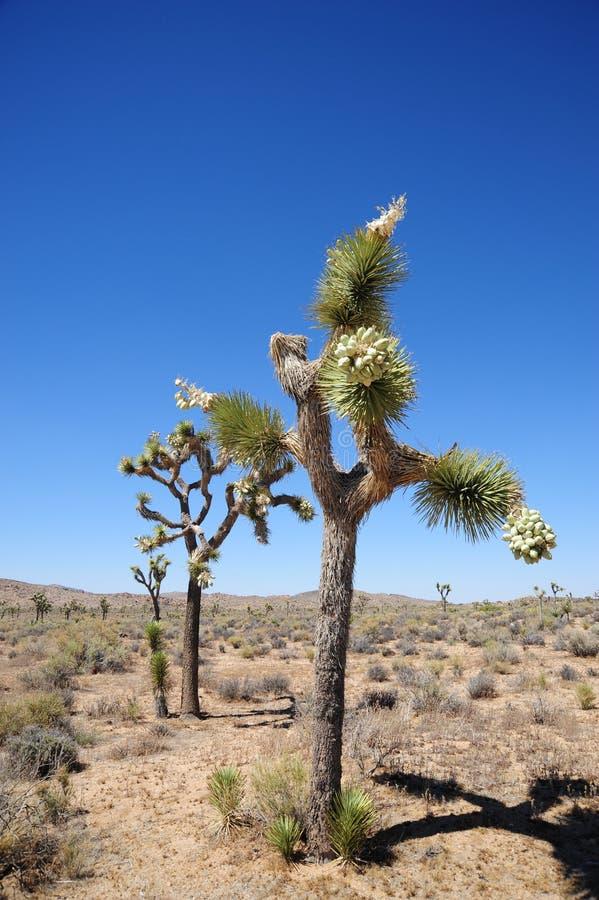 joshua tree zdjęcie stock