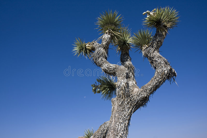 joshua tree obrazy stock