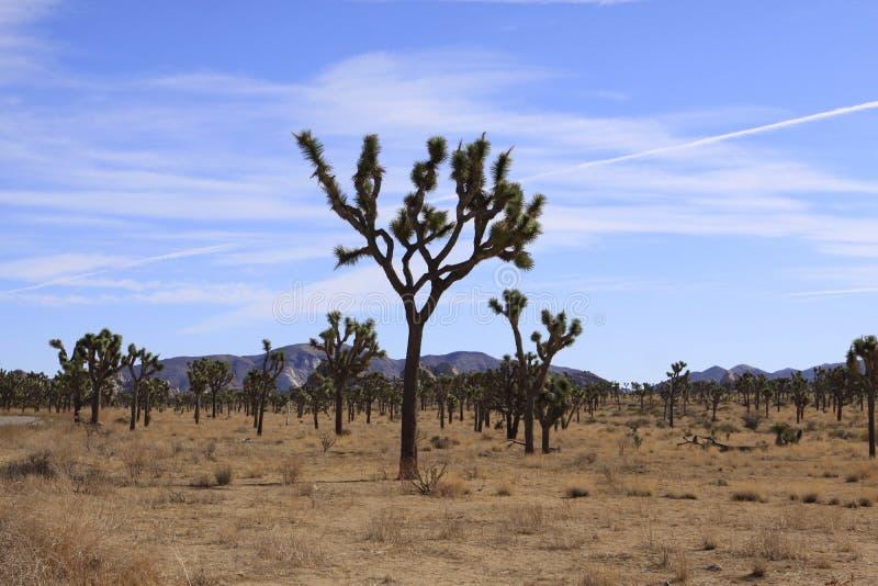 Joshua Tree imagem de stock