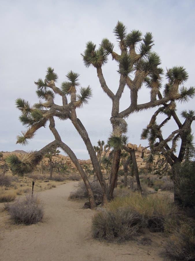 Joshua Tree royaltyfria bilder