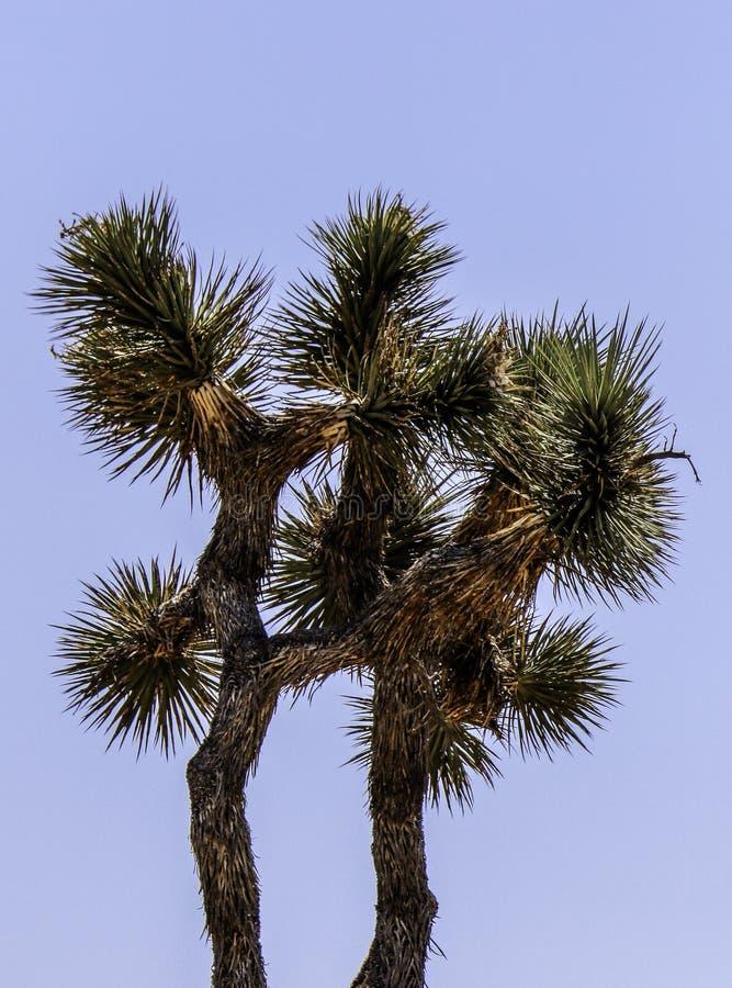 Joshua Tree Against Blue Sky bakgrund royaltyfri bild